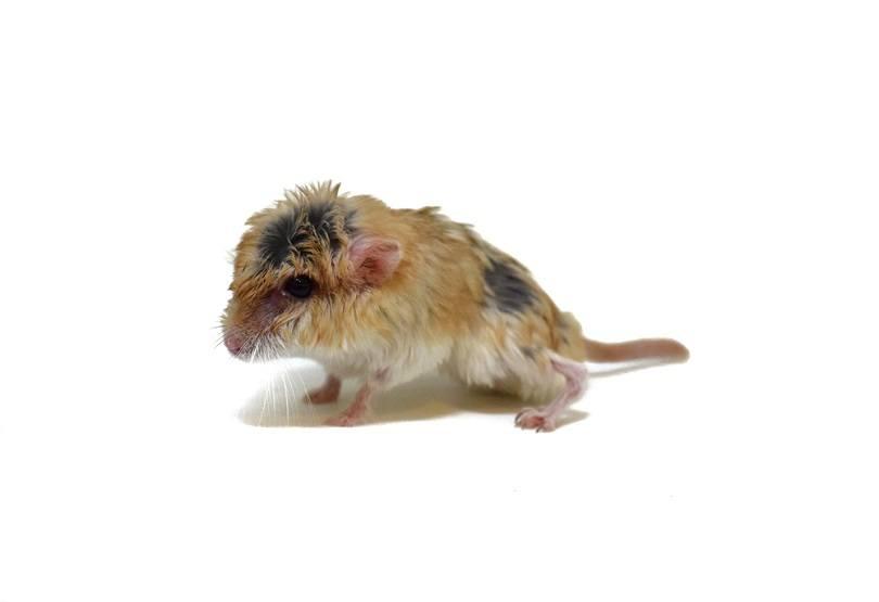 Fat tailed gerbil_Aticha Singsaeng_shutterstock