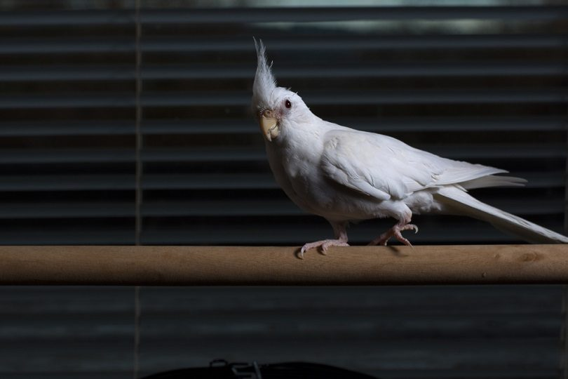 Female albino cockatiel_Gary_Ellis_Photography_shutterstock