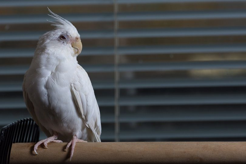 Female albino cockatiel_Gary_Ellis_Photography_shutterstock2