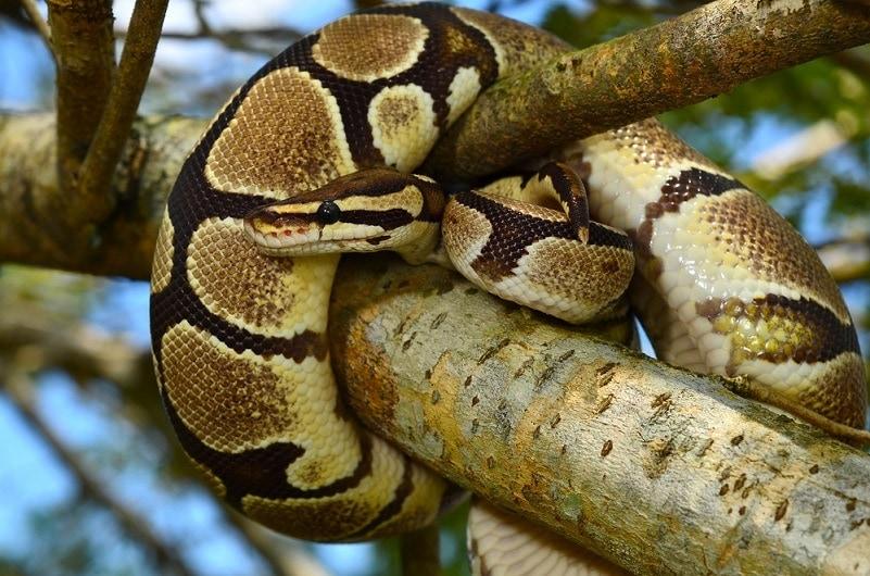 Fire Ball Python Snake_Ery Azmeer_shutterstock