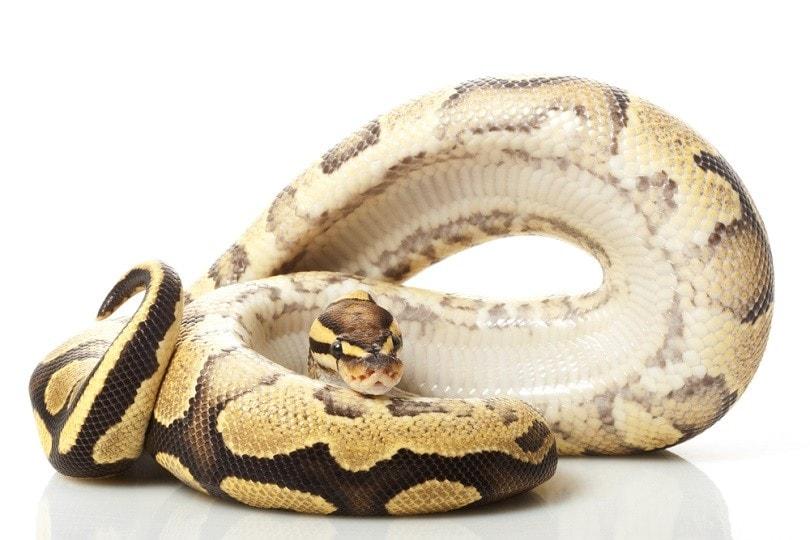 Fire yellow belly ball python_fivespots_shutterstock