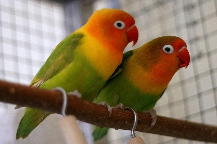 Fishers Lovebirds
