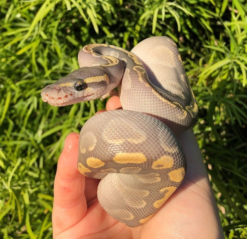 GHI Mojave Ghost Ball Python_Taylor Kapuy_shutterstock