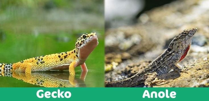 Gecko-vs-Anole visual