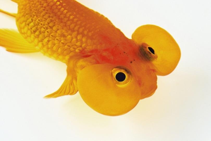 Goldfish_JenJ_Payless_shutterstock