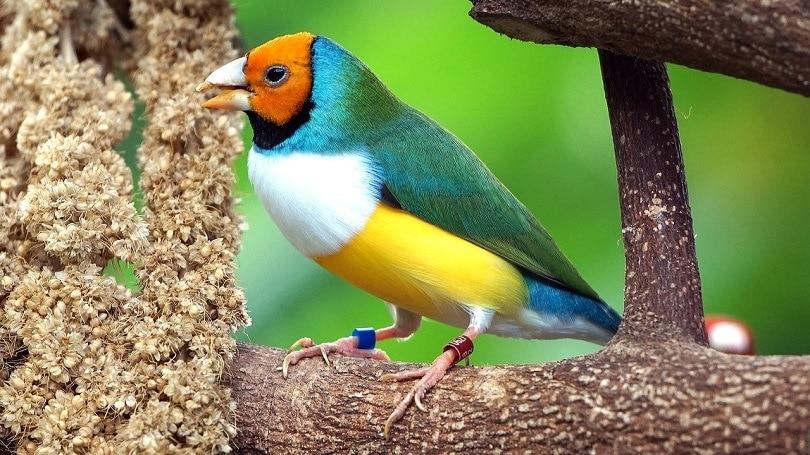 Gouldian Finch-pixabay