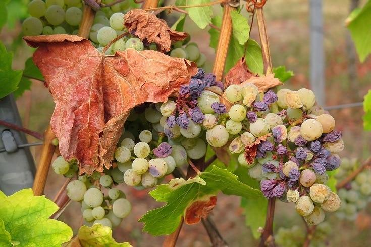 Grapes and raisin