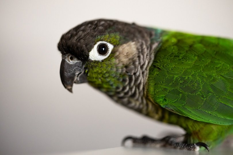 Green Cheek Conure with a blue leg ring_ice_blue_shutterstock