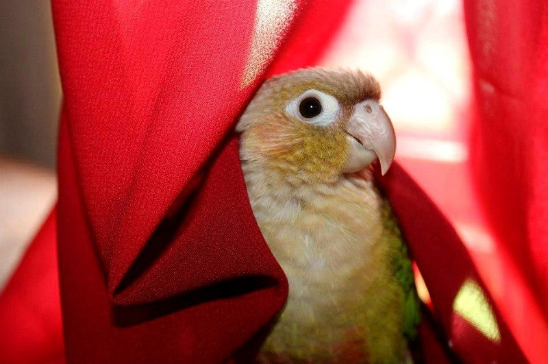 Green-CheekedConure