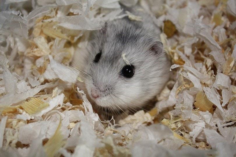 Grey_Dwarf_Hamster_in_habitat_Commons Wikimedia