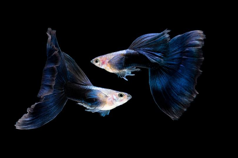 Half Black Blue Tail Guppy_yoyow_shutterstock