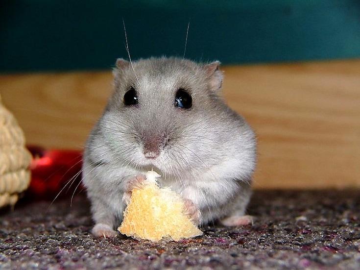 Hamster eating bread