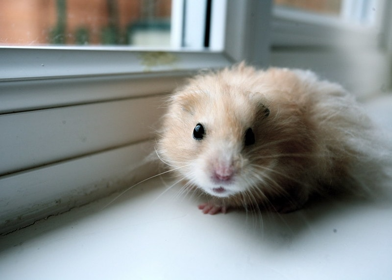 Hamster up close