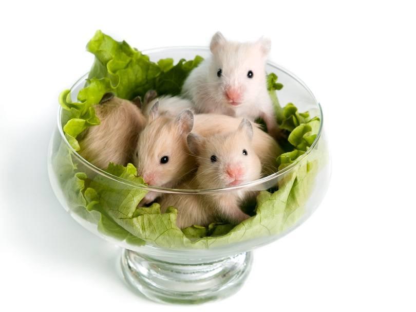 Hamsters Eat Spinach_Ekaterina Pokrovskaya_shutterstock