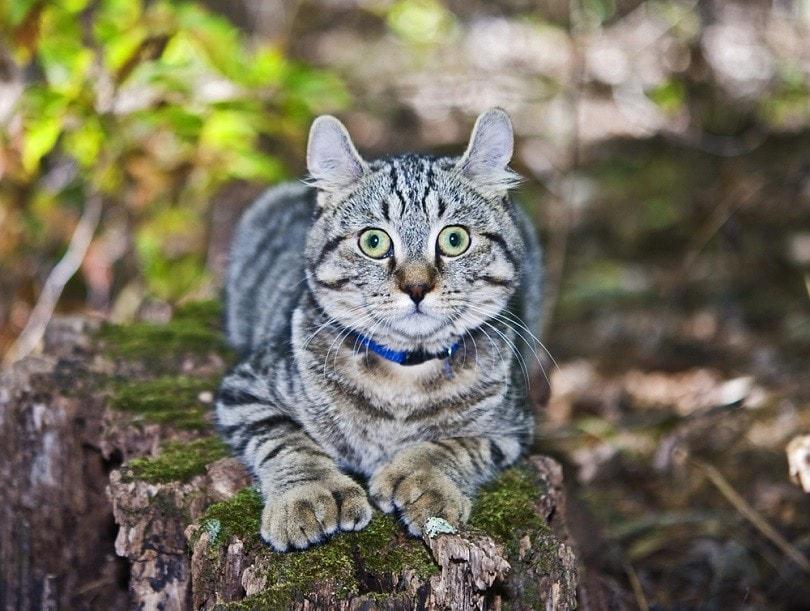 A,Cute,Highland,Lynx,Cat,On,A,Log.,He,Was