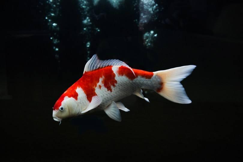 Kohaku koi fish