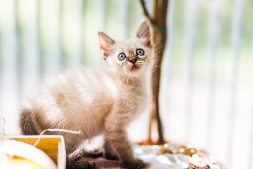 Little tonkinese kitten_Lifesummerlin_shutterstock