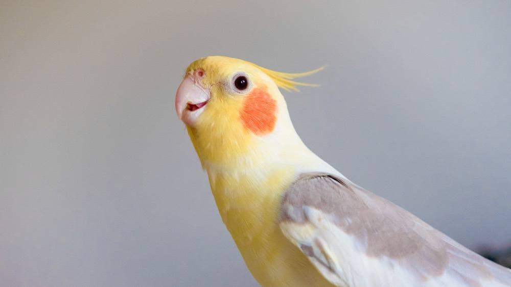 Lutino Bronze Fallow Cockatiel