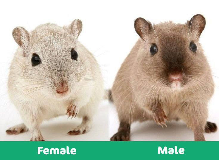 Male-versus-female-hamster visual