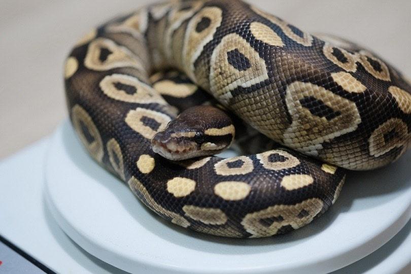Mojave morph ball python_Hand Robot_shutterstock