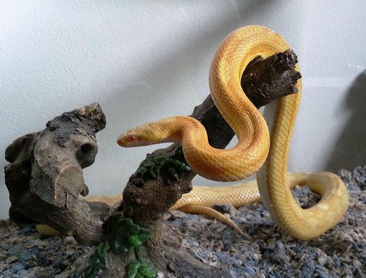 Motley Yellow Corn Snake Morph
