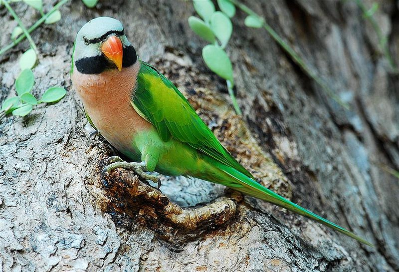 Moustached Parakeets