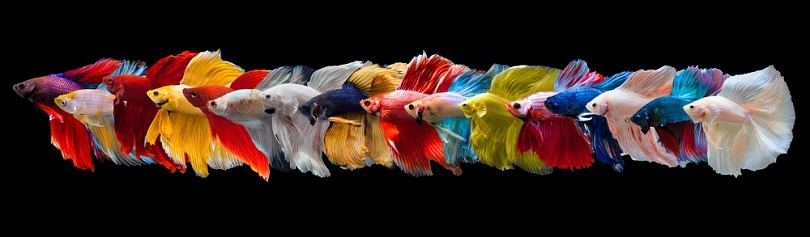 Multi color Siamese betta fish_panpilai paipa_shutterstock