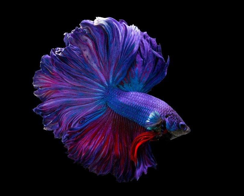 Multi color Siamese fighting fish betta_panpilai paipa_shutterstock