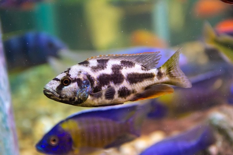 Nimbochromis livingstonii native cichlid_chonlasub woravichan_shutterstock