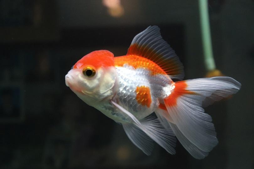 Oranda goldfish Red White_chanathip c_shutterstock