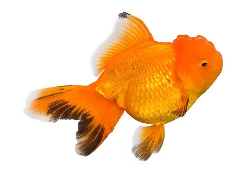 Oranda goldfish_Johannes Korenlius_shutterstock