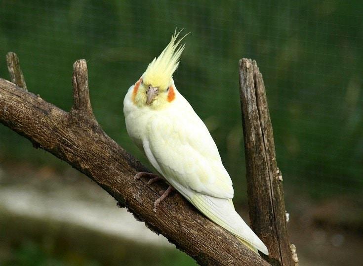 Parakeet Cockatiel