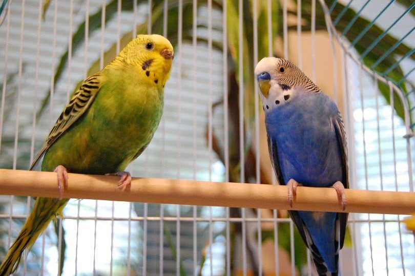 Parakeets in a cage