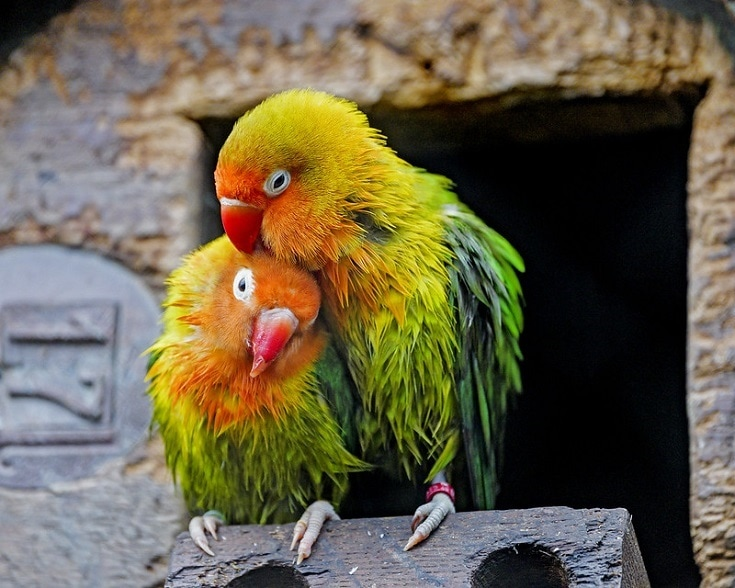 Peach Faced Lovebird couple