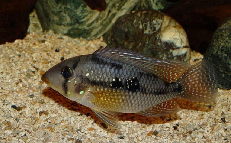 Pearl Cichlid