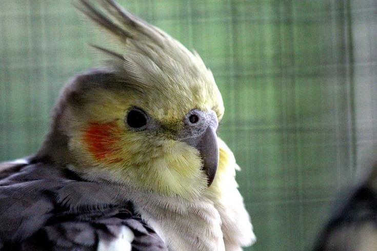 Pied Cockatiel close up