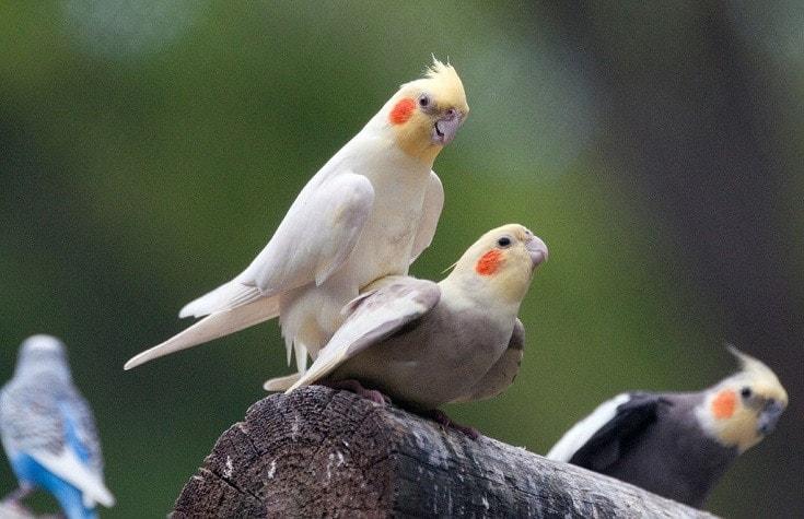 Pied Cockatiel mating