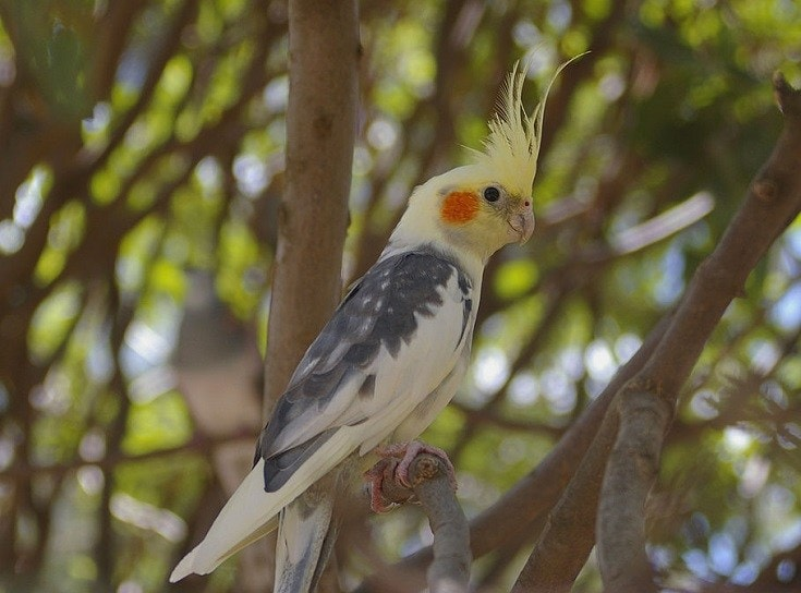 Pied Cockatiel on a tree branch