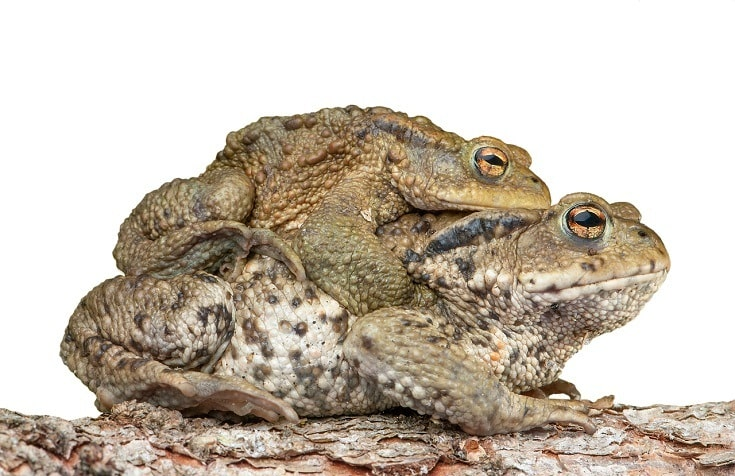 Piggyback toads