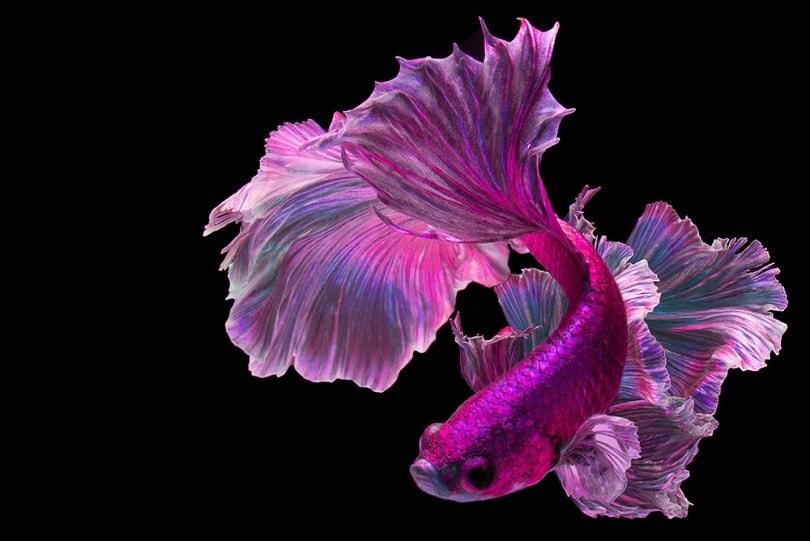 Pink betta fish_BannokStockPhoto_shutterstock