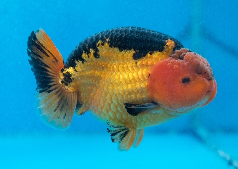 Ranchu Fancy Goldfish_Sardo Michael_shutterstock