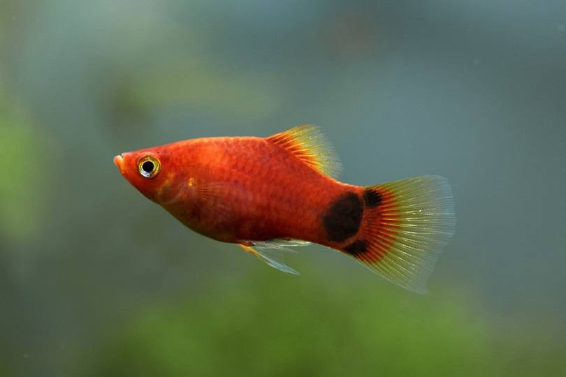 Red Mickey Mouse Platy_boban_nz_shutterstock