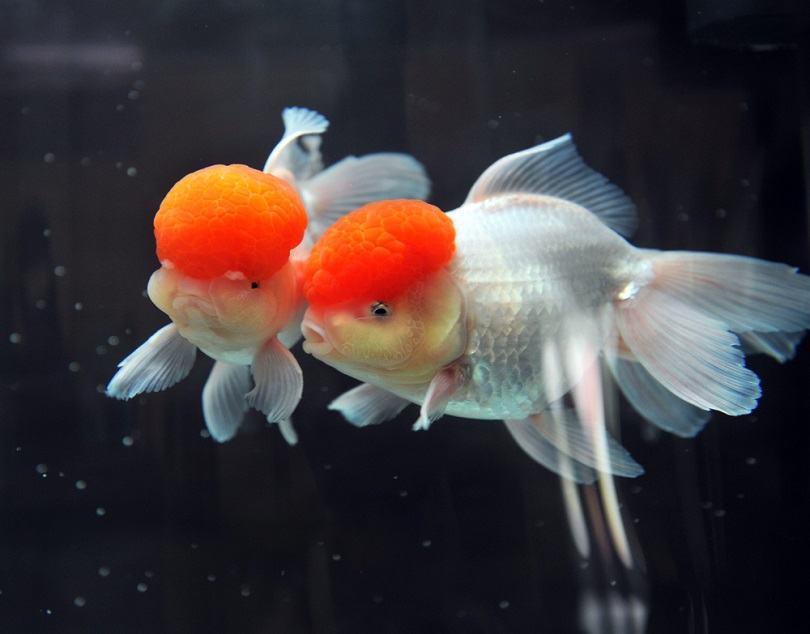 Red cap oranda goldfish_hxdbzxy_shutterstock