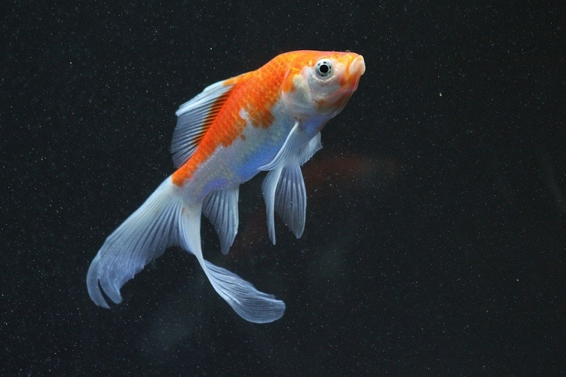 Red comet goldfish white fish_Mohamed Nageeb Nasr_shutterstock
