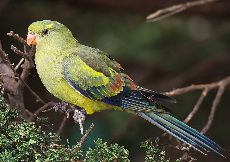 Regent Parakeet