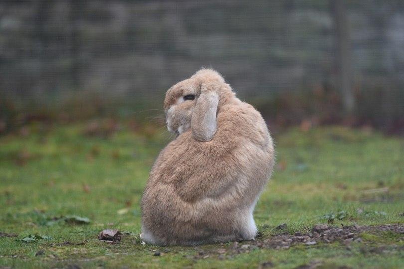 Sandy Dwarf lop eared rabbit_Lisa Leonardo_shutterstock