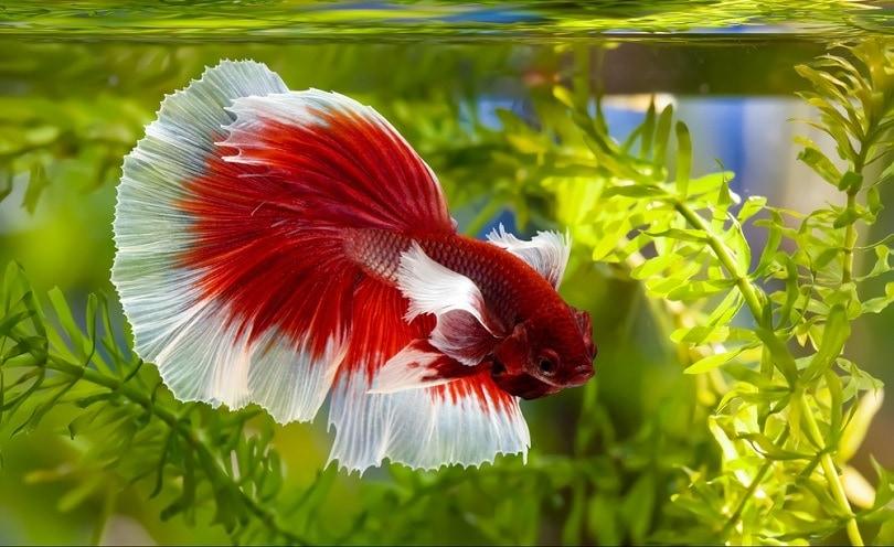 Siamese fighting fish Rosetail halfmoon_panlipai paipa_shutterstock