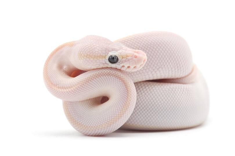 Snake Ball python_PetlinDmitry_shutterstock
