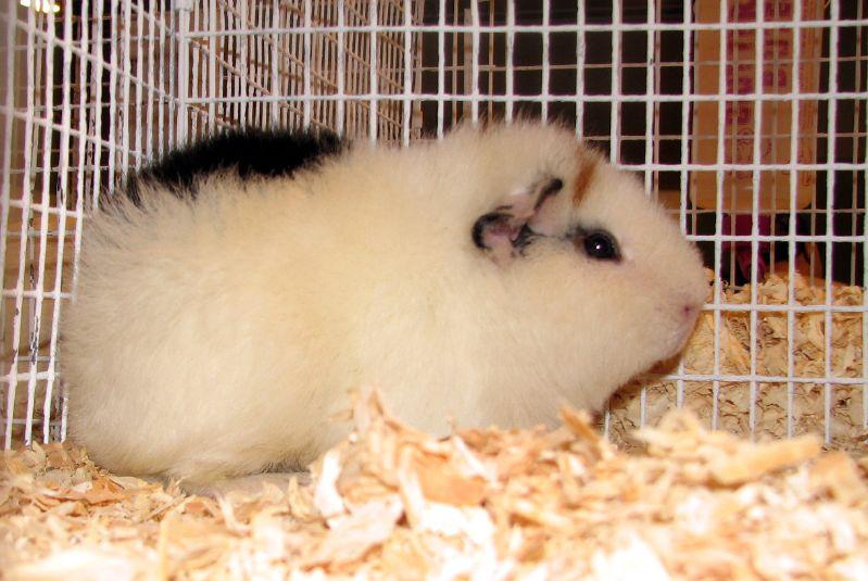 guinea pig-commons wikimedia