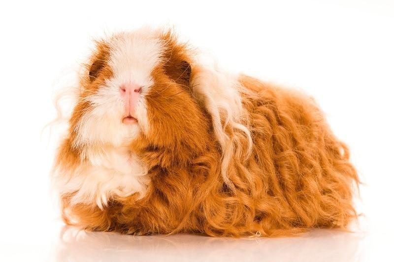 Texel Guinea Pig_shutterstock_joanna wnuk